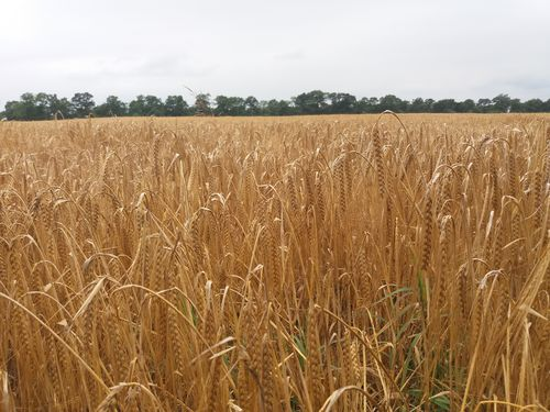 изменение климата, пшеница, урожай,