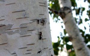муравьи, муравей, насекомые,