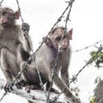 Клонирование обезьян в Китае прошло успешно