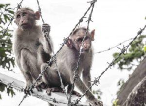 обезьяны, клонирование,