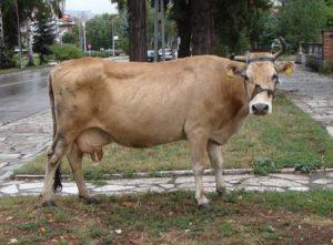 молоко, корова,