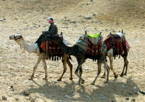 верблюжий навоз, верблюды,