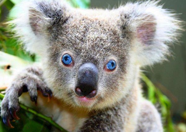 коала,