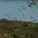 Нашествие саранчи в Африке достигает невероятных масштабов (видео)