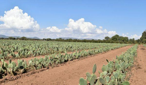 кактусы, Мексика.